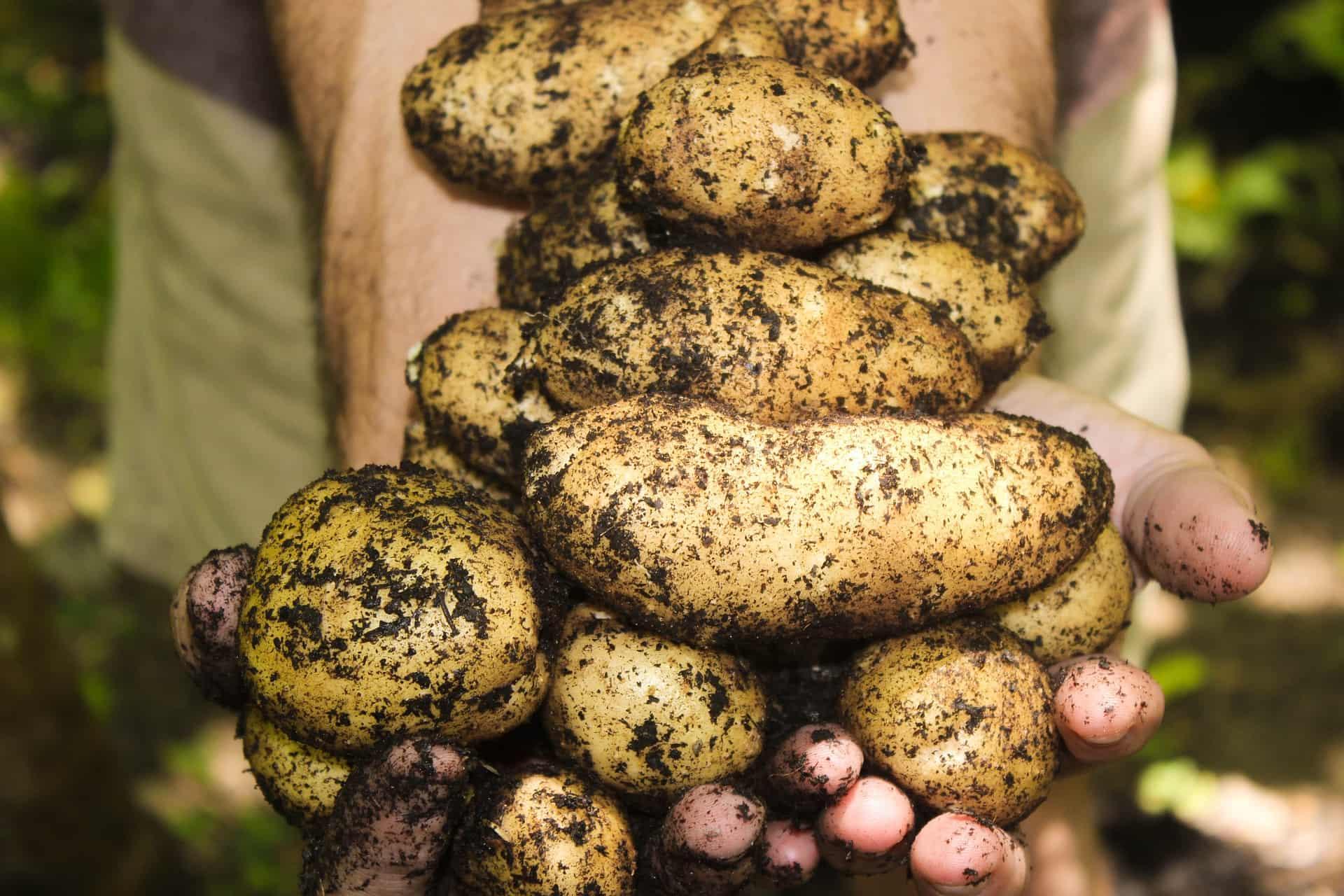 chipsy z obierek ziemniakow domowe